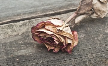 c_dried rose