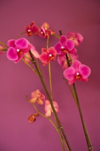 pink orchid_b